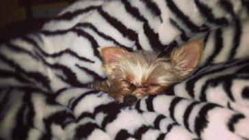 Dog Blanket Hog